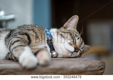 Portrait Of Striped Cat Sleeping On Wooden Tray, Close Up Thai Cat