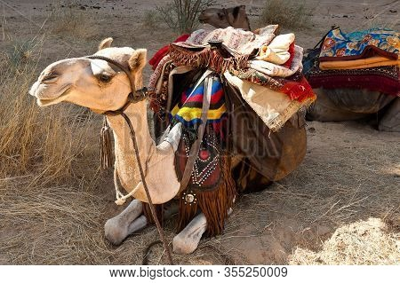 Festively Decorated Camel  In The Sahara- This Working Animal Is A Symbol Of Endurance,frugality And
