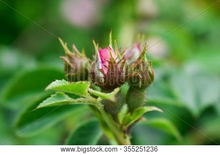 Wild Rose Flower. Rose Hips Bud. Bud Blooming Rose Hips. Spring.