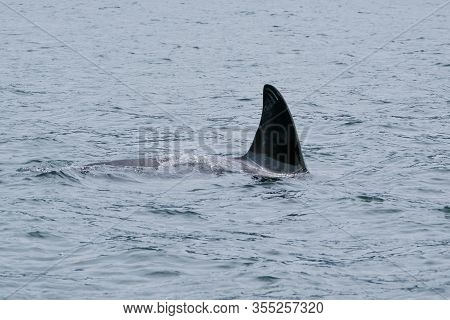 Killer Whale In Tofino With The Fin Above Water, View From Boat On A Killer Whale