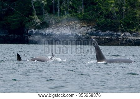 Two Killer Whales In Tofino With The Fin Above Water, View From Boat On Two Killer Whale