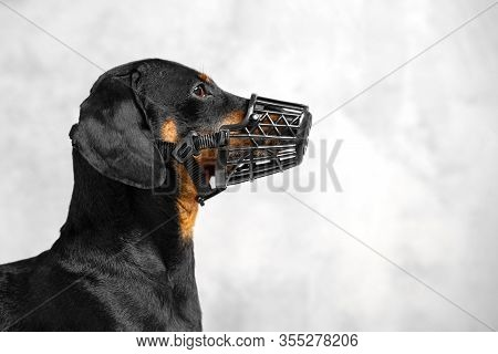 Profile Portrait Of Short-haired Dachshund In Black Muzzle, On Grey Background. Safety Of Your Dog C