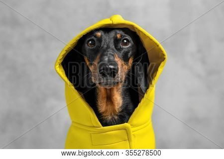 Expressive Portrait Of A Dog Of A Dachshund Breed, Black And Tan, Dressed With A Yellow Hooded Suit