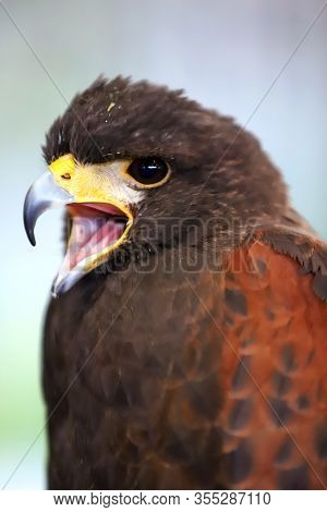 Falconry. Harris Hawk (parabuteo Unicinctus) Bird Of Prey On Display. Also Known As Bay-winged Hawk