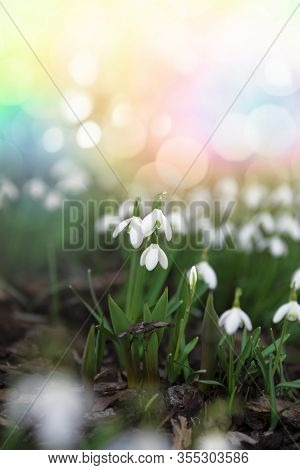 Snowdrop Spring Flowers On Abstract Bokeh Background