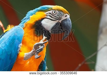 Blue And Yellow Macaw Ara Ararauna Sitting On A Branch And Nibbling A Branch