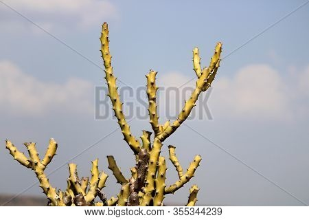 A Thorny Cactus That Grows In The Desert.