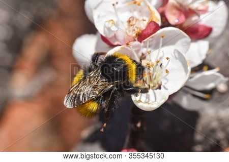 Bumblebee Pollinating White Flowers Of Peach Tree In Spring Orchard. Bumblebee On Peach In Full Blos