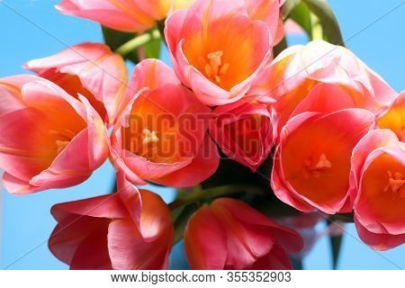 Colorful Bouquet Of Pink Tulips On A Blue Background. Holiday Celebration. Mother's Day, Easter, Int