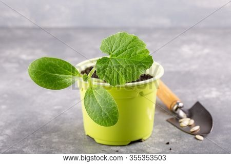 Zucchini Courgette Or Squash Seedling  Growing In Light Green Pot. Ready To Planting Out. Gardening