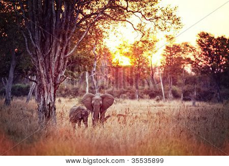 elephant at sunset in luangwa national park zambia