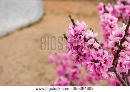 Beautiful Close Up Shot Of Fully Bloomed Pink Apricot Flower With Blurred Shollow Depth Of Field Dec