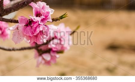 Beautiful Close Up Shot Of Fully Bloomed Pink Apricot Flower With Blurred Shollow Depth Of Field Bac
