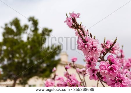 Beautiful Low Angle Close Up Shot Of Fully Bloomed Pink Apricot Flower With Big Tree, House And Chim
