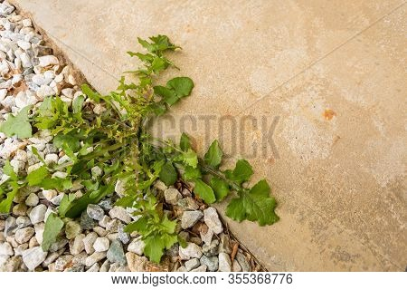 Broadleaf Weed Growing In Between Concrete And Decorative Rocks Yard With Lots Of Copy Space For You