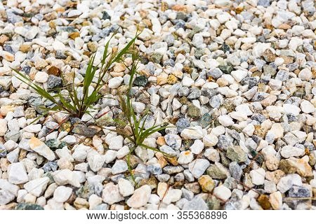Close Up Shot Of A Crabgrass Weed Growing On Decorative Rocks Yard.