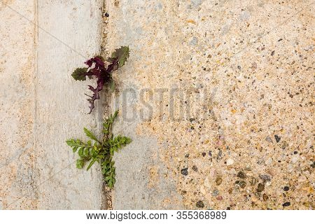 Close Up Shot Of Two Types Of Lawn Weed, A Dandelion Weed And A Colorful Braodleaf Weed Growing In A