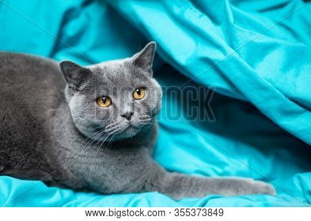 British cat relaxing on blue bed sheet . British shorthair breed