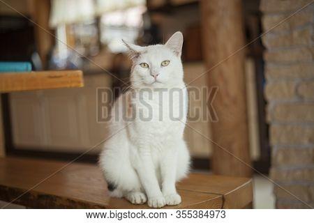 White Cat Sits Indoor