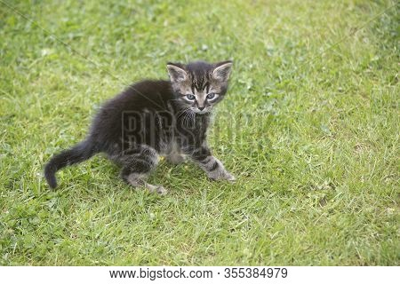 Young Kitten On A Meadow