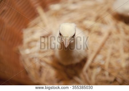 Young Turkey Chicken Sit In A Basket