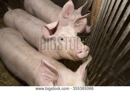 Three Young Pigs In A Dark Pigsty
