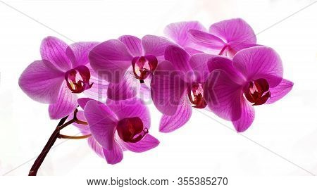 Pink Orchid Flowers Isolated On A White Background. Beautiful Purple Phalaenopsis Orchid Flowers Iso
