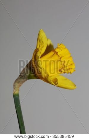 Yellow Flower Macro Background High Quality Narcissus Pseudonarcissus Family Amaryllidaceae