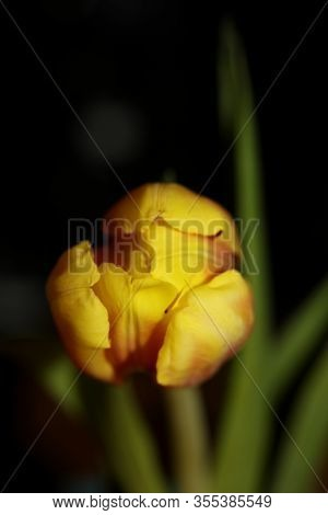 Tulip Flower Macro Background High Quality Tulipa Aximensis Family Liliaceae