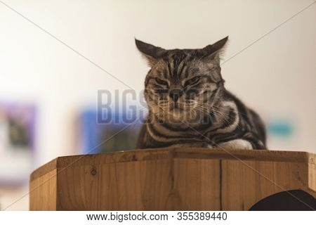Mixed Breed Black Striped Cat Lying On Belly, Sitting On The Cat Carpet Condo, Showing Alert, Tense