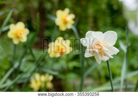 Narcissus Of The Ice King Species On A Flowerbed.white Terry Daffodils In A Field.flowering Of Large