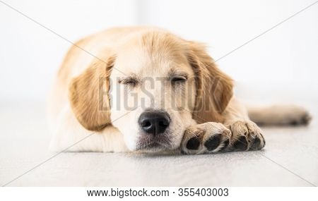 Adorable retriever muzzle with closed eyes