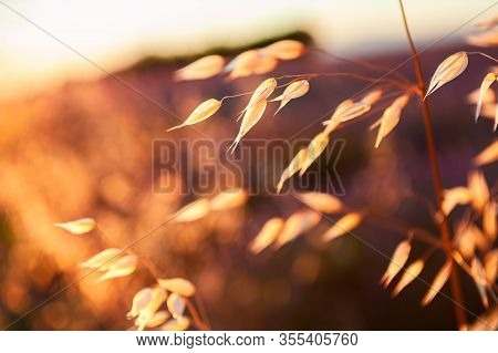 Oat Plants In A Field At Sunset. Summer Nature Background. Shallow Depth Of Field.