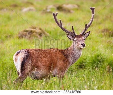 Red Deer Stag.  A Picture Of A Red Deer Stag In The Scottish Highlands.