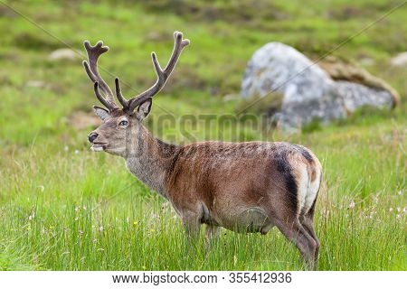Red Deer Stag.  A Red Deer Stag In The Scottish Highlands.