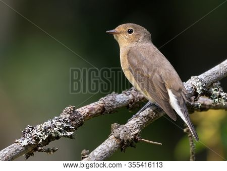 Female Red-breasted Flycatcher (ficedula Parva) Simple Posing Perched On Small Branch With Clean Dar