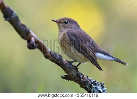 Young Female Red-breasted Flycatcher (ficedula Parva) Full Body Graceful Posing On Small Branch With