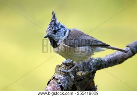 European Crested Tit (lophophanes Cristatus) Side View Posing On An Old Lichen Covered Stick In The