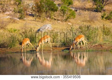 The Impala (aepyceros Melampus), Adult Antelopes. A Small Herd Of Antelope Impalas Drinks From A Wat