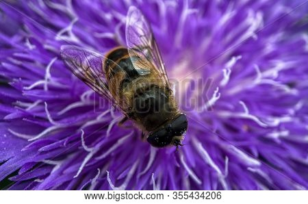 Macro Photo Of A Pretty Purple Dahlia Flower With A Bee Crawling On The Petals Searching For Nectar