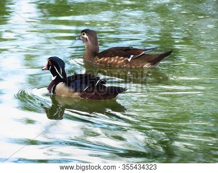 Pair Of Wood Duck, Named Also Carolina Duck, Zoological Name Aix Sponsa. Perching Duck On Water Surf