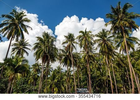 Plantation Coconut Palms