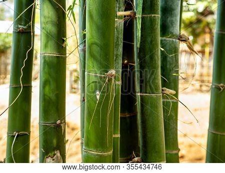 Large Trunks Of Fresh Green Bamboo