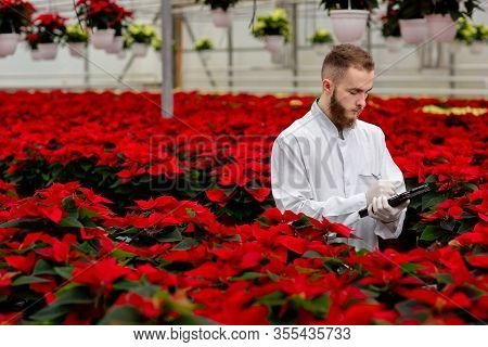 Young Greenhouse Workers Standing With A Tablet And Checks The Poinsettia Plants. Gardening, Red Poi