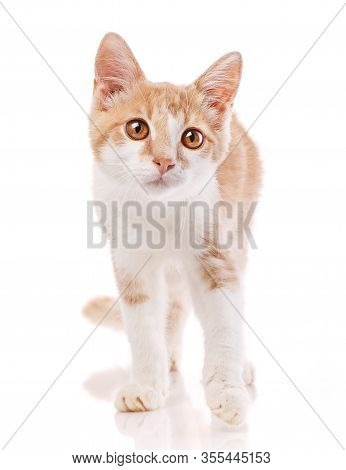 Red Male Cat, Walking Towards Camera. Isolated