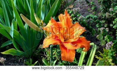 Bright Orange Flowers Of Day-lily In A Garden. The Language Of The Flower Is Coquetry. Hemerocallis
