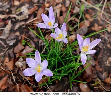 Crocuses Botanical From The Group Of The Earliest Flowering Crocuses Chrysanthus Of The Family Irida