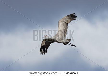 Sandhill Cranes During The Spring Migration In Monte Vista, Colorado.