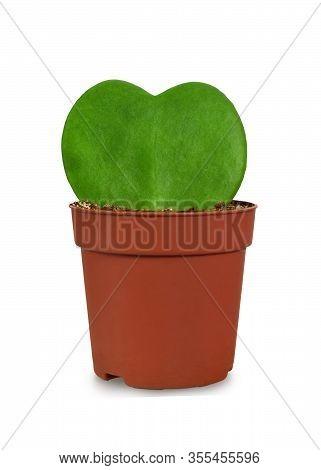 Hoya Kerrii (sweetheart Plant) In Flower Pot Isolated On White Background