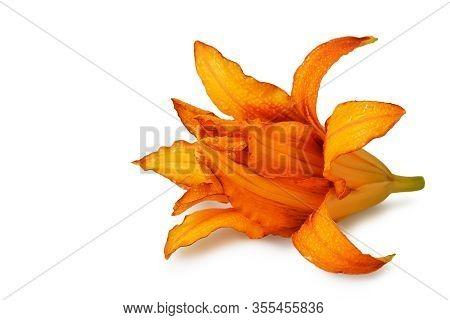 Double Orange Daylily (hemerocallis) Isolated On White Background